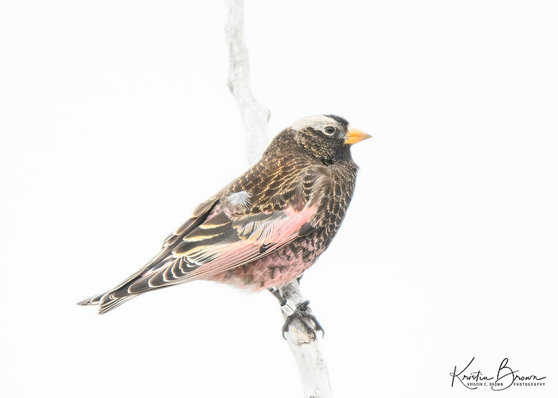 Black Rosy Finch  (banded)