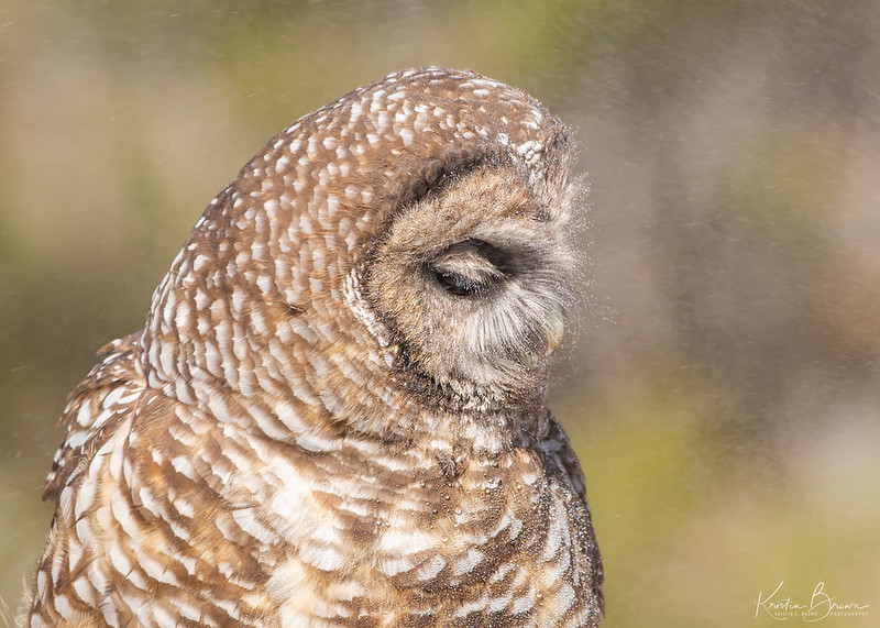 Cooling off.  Mexican-spotted Owl (Captive avian ambassador for Hawks Aloft)