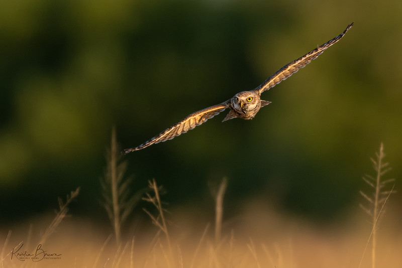 Burrowing Owl with Prey