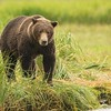 Coastal Brown Bear Sow