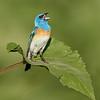 Lazuli Bunting Singing