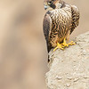 Juvenile Peregrine Falcon waiting for Dinner