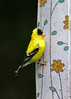 Male American GoldFinch eating off Thistle Sack Behind Shed