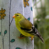 Female American GoldFinch, Thistle Sack, Behind Shed