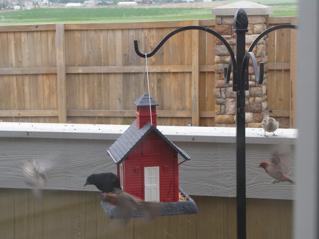 My first sign that the Schoolhouse Birdhouse is a big hit - May 22, 2009 - Red Winged Blackbird, Female and Male (red) Cassins Finch, and Song Sparrows