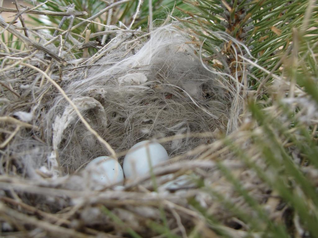Cassins Finch bird nest near my home (5 eggs) 05-02-2009