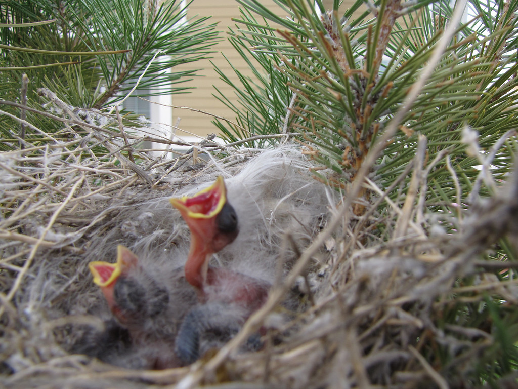 05-14-2009 - the baby Cassins Finches are HUNGRY!  There are 5 in the nest - but 2 are poking their heads out - I hope the other 3 are going to be okay - will keep you posted; I can see this tree from my house - it's in front of the house/unit next door
