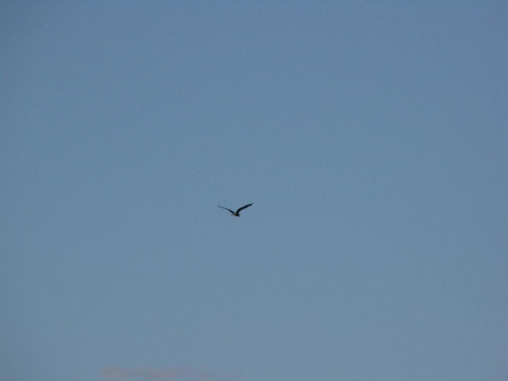 Cormorant near my home May 2009
