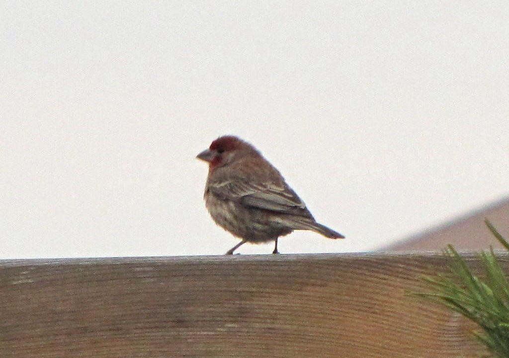 The Daddy Cassins Finch by my porch - he and Mama Finch just laid some baby eggs in their nest nearby - he wants to make sure I'm okay