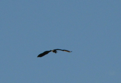 I took these photos of a Cormorant in my neighborhood - I was standing on my front porch - flew right over my roof - AWESOME