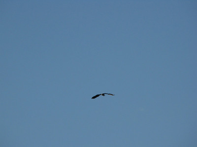 Cormorant flying over my house - May 2009