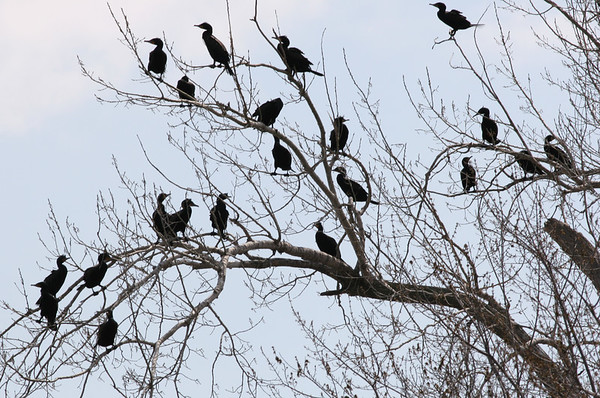 Double-crested Cormorants.  There were several trees just full of these birds.  Must have been over a hundred of them.  I've never seen anything like it.<br /> Lake Manawa.<br /> April 14, 2007.