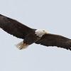 Bald Eagle, adult, Lock & Dam No. 14, Bettendorf, IA