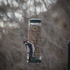 Downy woodpecker finally finds the peanuts.