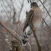 Sharp-shinned hawk?  Photo:  Dondi