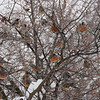 Robins and waxwings feast on the last hawthorne berries.