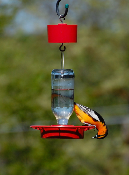Bullocks Oriole (hoping for an orange slice perhaps).