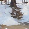 Proliferation of mourning doves.
