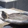 Quail on frozen pond.