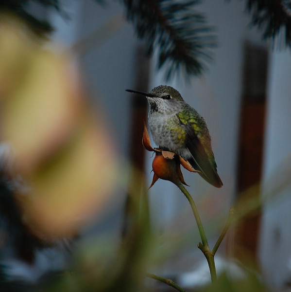 Anna's hummingbird hanging out in winter.  Photo:  Dondi
