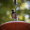 Black capped chickadee, a regular in 2016.