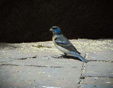 Lazuli Bunting.