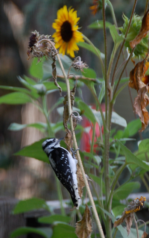 Even woodpeckers like sunflowers.  Downy.