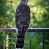 Sharp-shinned hawk.