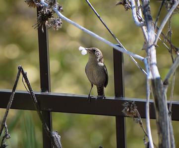 House Wren, gathering nest material.  Photo:  Dondi