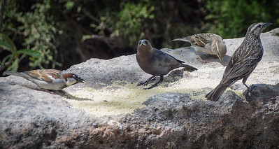 Brown-headed Cowbird with company.