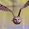 Baared Owl 1