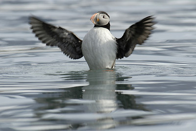 Puffin looking cute, when taking off from the surface of the water.