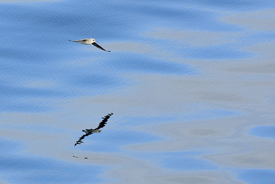 Northern fulmar gliding just above a glassy surface. The fulmar is the onlt northern representative of the tubenose or albatross group of birds.