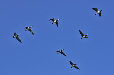Barnacle geese heading to land after a feeding expedition.