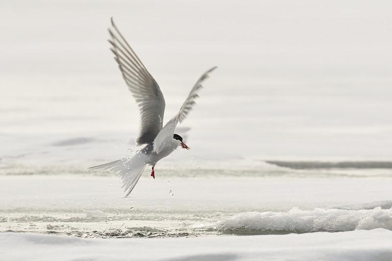 Arctic tern feeding on shrimp or krill.