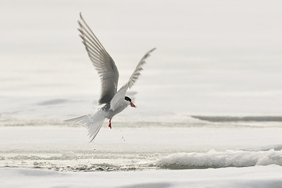 Arctic tern feeding on shrimp or krill.