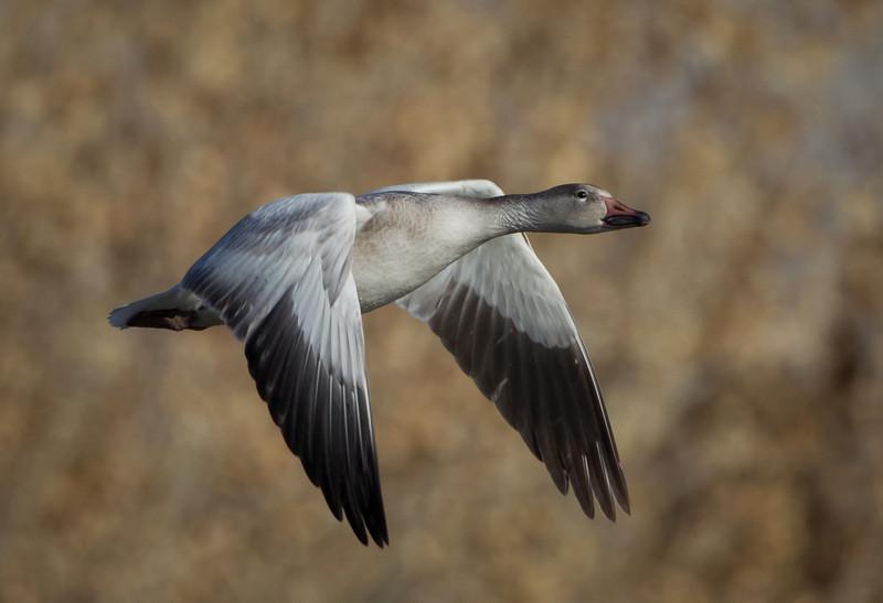 Snow Goose,Bosque Del Apache-New Mexico