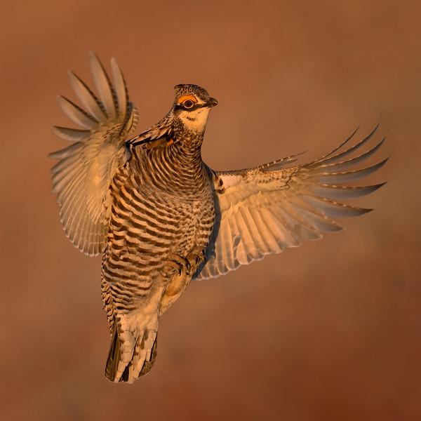 Male Greater Prairie Chicken