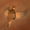 Male Greater Prairie Chicken