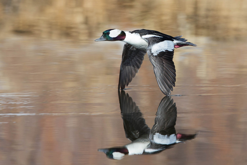 Bufflehead Duck Drake-flying bullet.