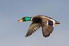 Mallard Duck.