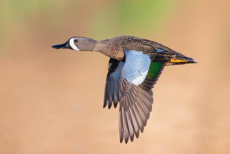 Blue-winged Teal-drake in flight.