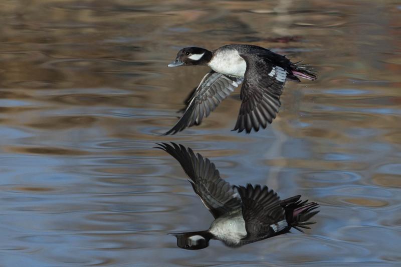 Bufflehead Duck -female in flight