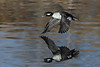 Bufflehead Duck -female in flight