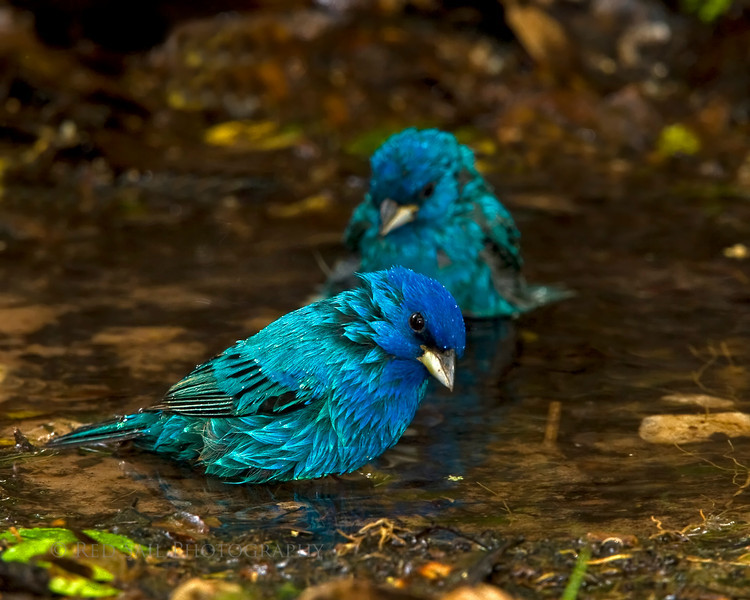 Indigo Buntings stopped by for a dip.