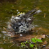 Yellow-rumped Warbler enjoying the water.