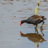 Alae ula (Common Hawaiian Moorhen) (Hawaii)