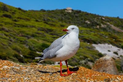 Silver Gull - Victoria, Australia