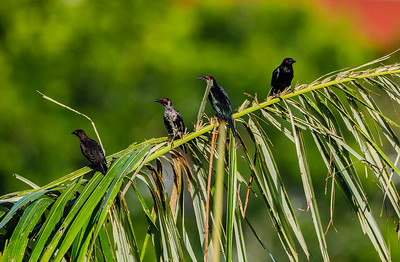 Asian Glossy Starlings