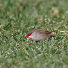 Common Waxbill (Hawaii)